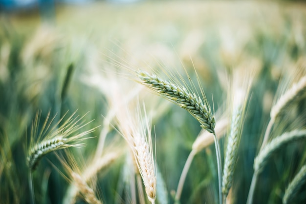 Cerrar grano de cebada antes de cosechar