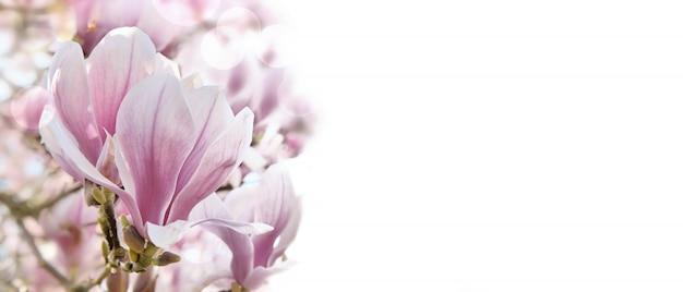Cerrar en una hermosa flor de magnolia sobre fondo blanco.
