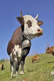Cerrar en hermosa vaca alpina con una campana en pasto bajo el cielo azul
