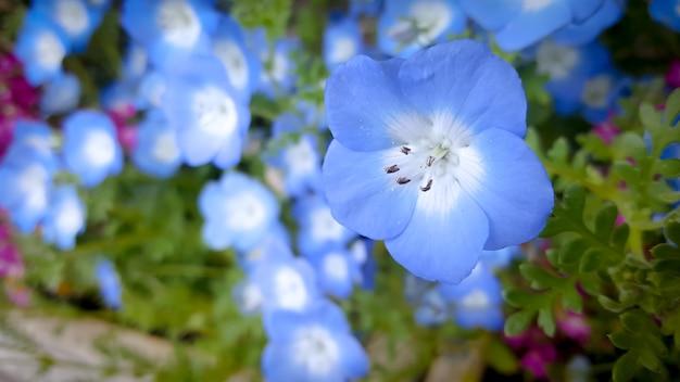 Cerrar hermosas flores de nemophila (baby blue eyes) en japón