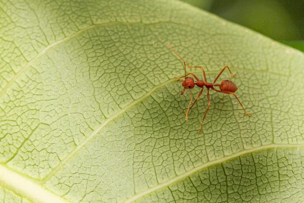 Cerrar hormiga roja en hoja verde en la naturaleza en tailandia