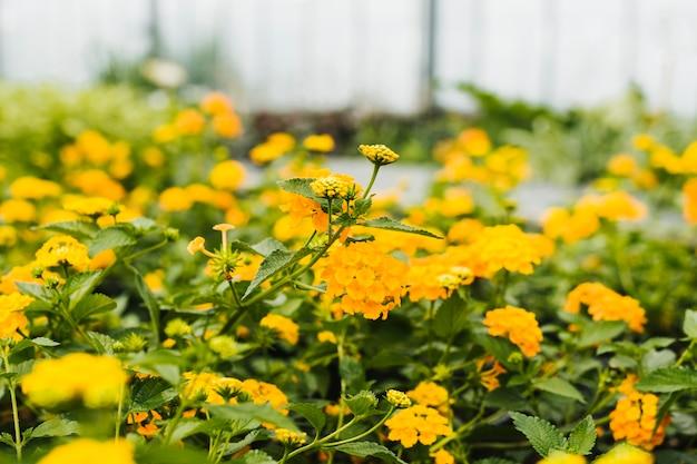 Cerrar hortensias amarillas dentro de invernadero