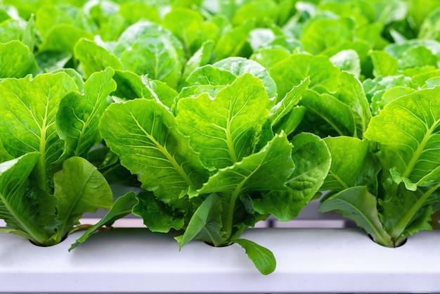 Cerrar lechuga mantequilla verde en granja vegetal hidropónica