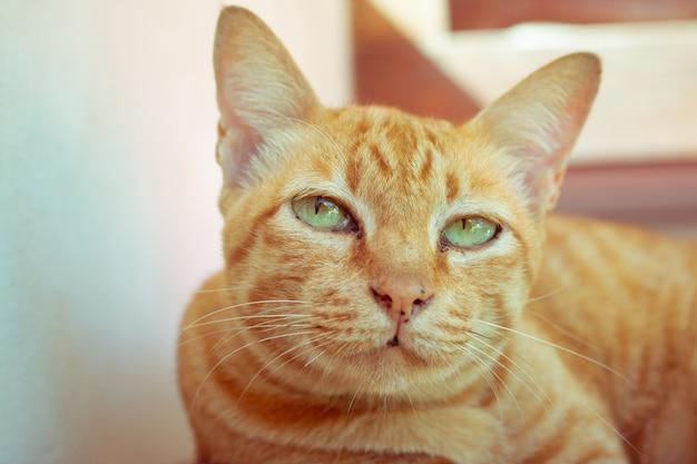 Cerrar lindo gato atigrado jengibre se centran en el ojo