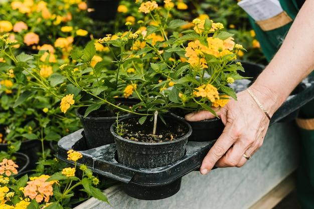 Cerrar macetas de flores en la mano