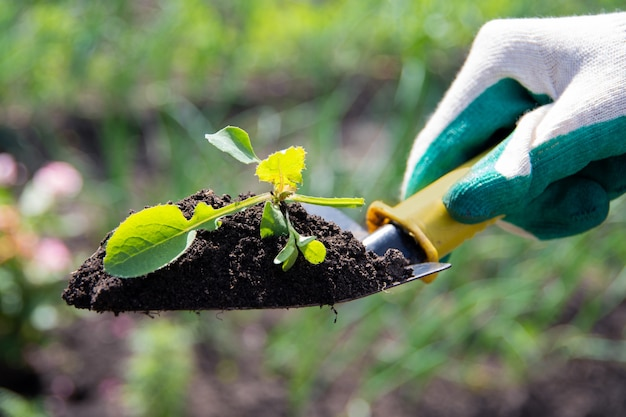 Cerrar la mano humana en el guante sosteniendo una planta joven en el fondo del suelo en la herramienta de jardín con luz solar