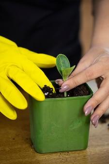 Cerrar las manos de la jardinera plantando microgreens en maceta reutilizable verde
