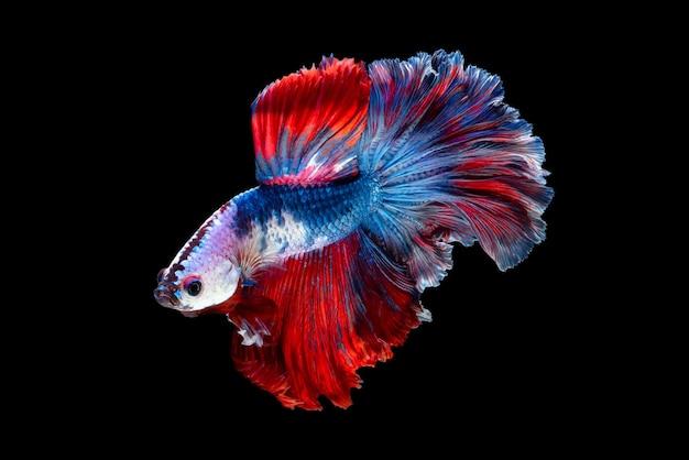 Cerrar el movimiento de arte de pez betta o pez luchador siamés aislado sobre fondo negro