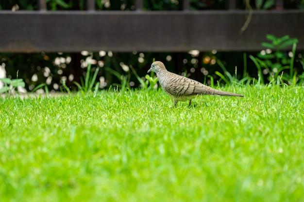 Cerrar la paloma de la naturaleza camina en el campo de hierba en el día de la mañana.
