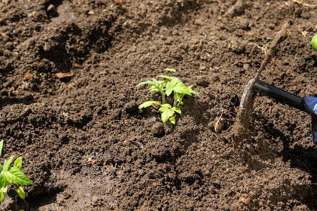 Cerrar picos de tomate en tierra, cultivo orgánico