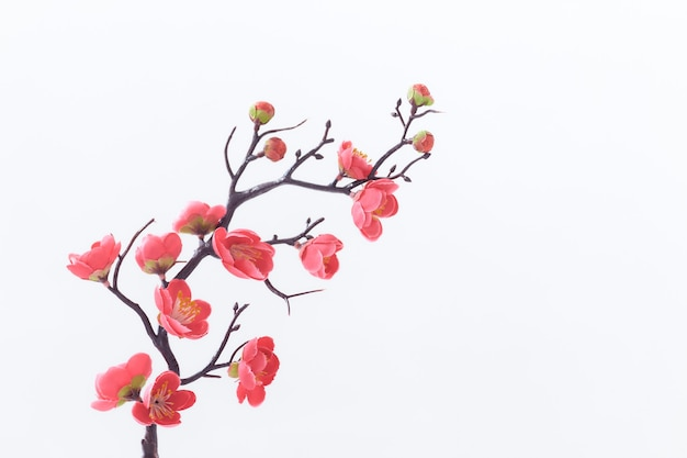 Cerrar rama de cerezo rosa sobre fondo blanco.