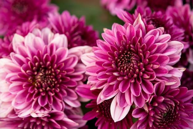 Cerrar rosa crisantemo otoñal