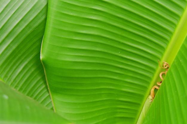Cerrar textura de hoja de plátano