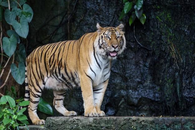 Cerrar tigre de bengala en el bosque