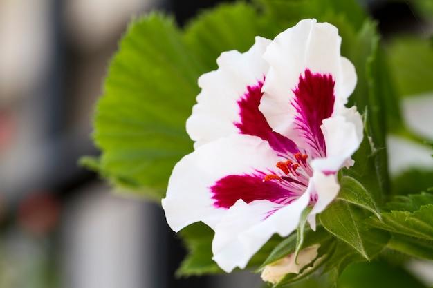 Cerrar vista de la hermosa flor sinningia speciosa.