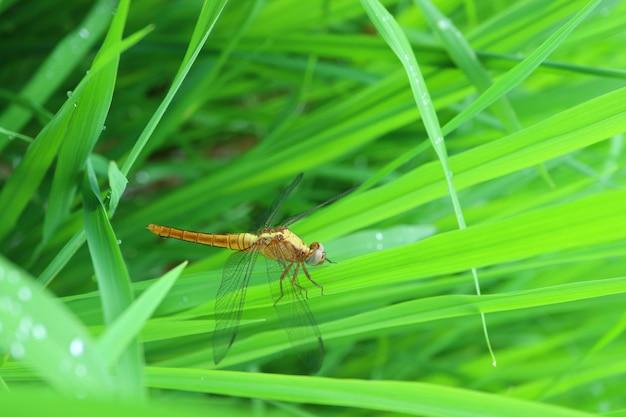 Cerré una libélula descansando sobre la vibrante hierba verde