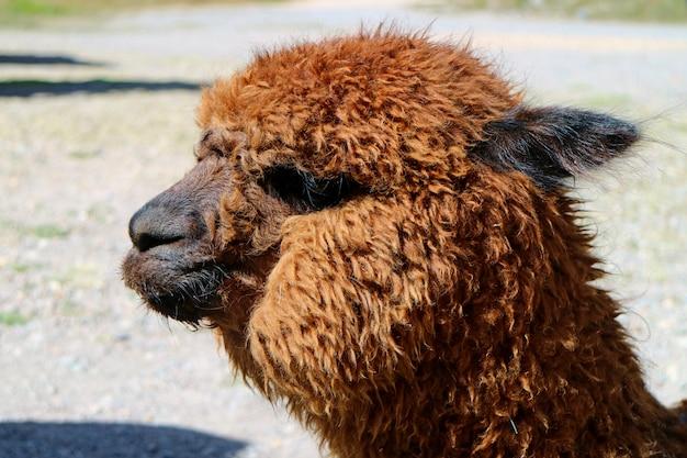 Cerró una alpaca esponjosa marrón en el altiplano peruano de la región de arequipa, perú