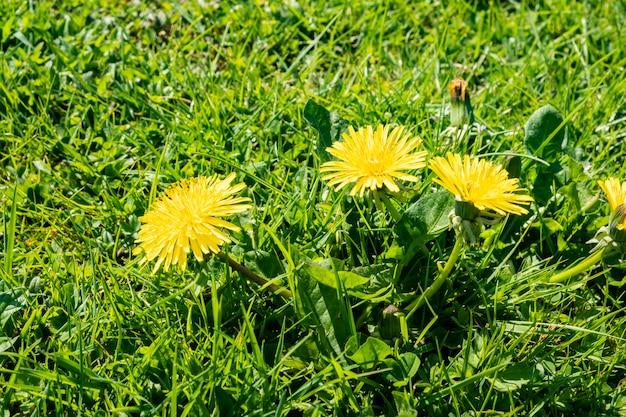 Césped de primavera verde con flores de diente de león y margaritas