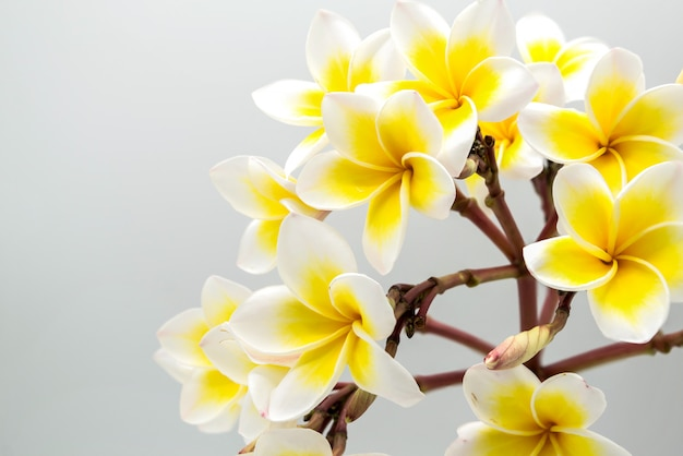 Champa, flor amarilla aislada
