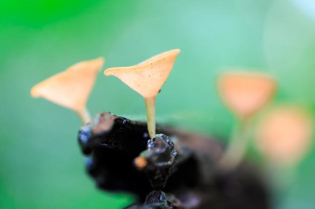 Champiñones rojos, pink burn cup hongo, tarzetta rosea (rea) dennis, pustuluria rosea rea