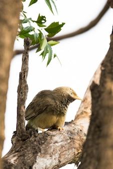 El charlatán de garganta hinchada sentado en la rama
