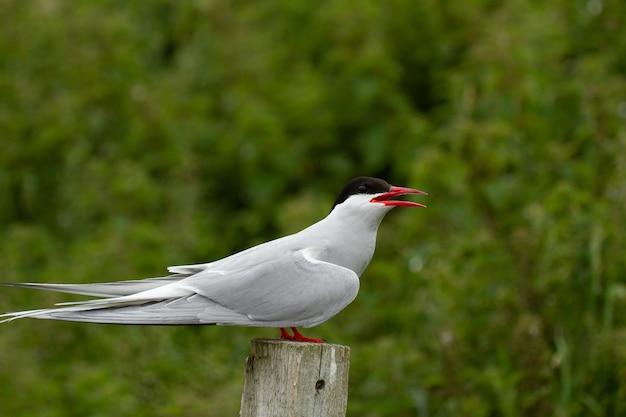 El charrán ártico (sterna paradisaea) pájaro en las islas farne, inglaterra