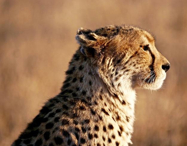 Cheetah en el parque nacional masai mara
