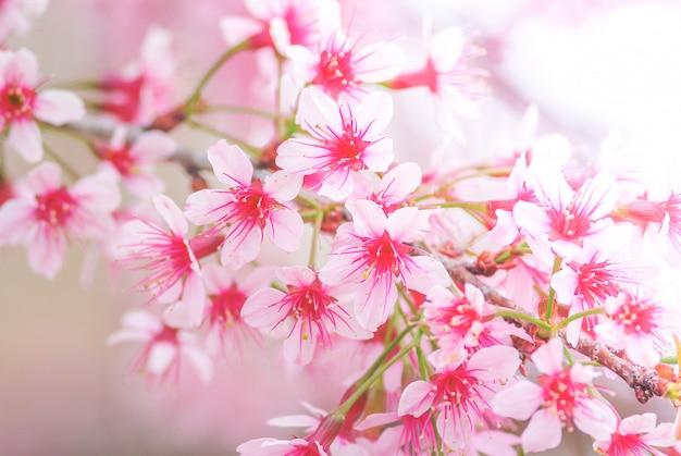 Cherry blossom en primavera con enfoque suave