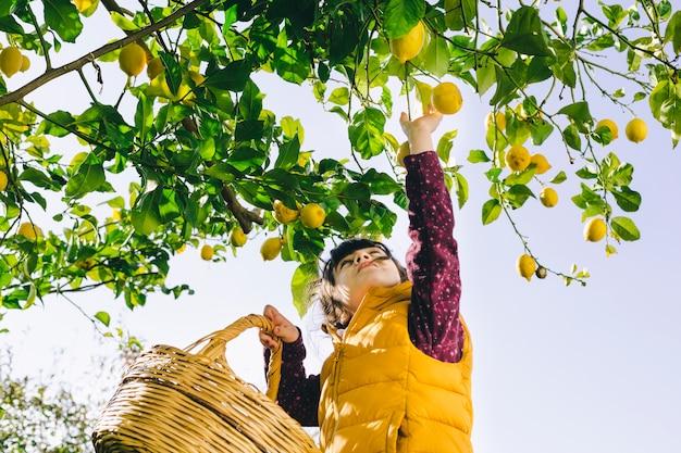 Chica con cesta recogiendo limones