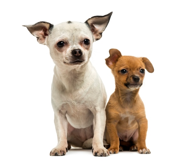 Chihuahua adulto y cachorro sentados juntos aislado en blanco