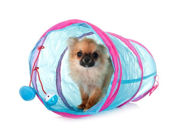 Chihuahua cachorro delante de un espacio en blanco