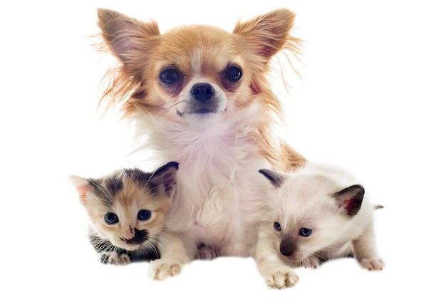 Chihuahua cachorro y gatito
