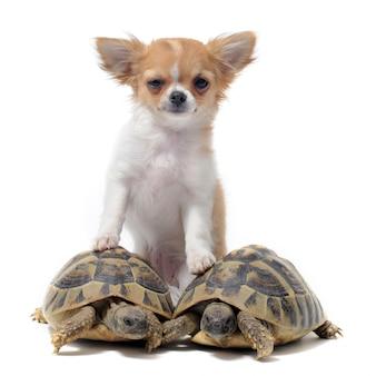 Chihuahua cachorro y tortugas