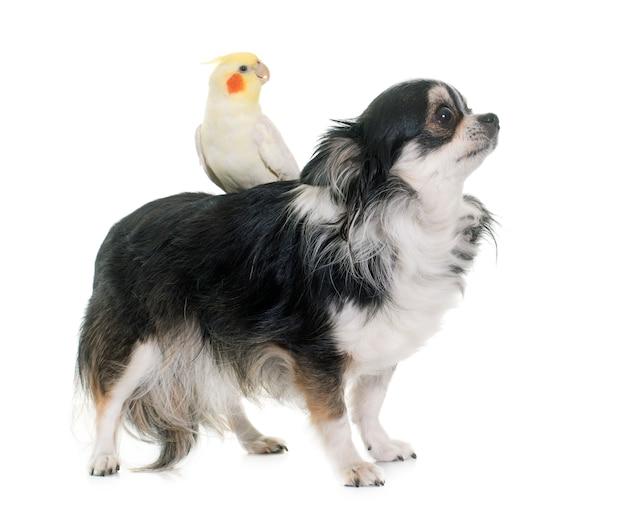 Chihuahua y cockatiel