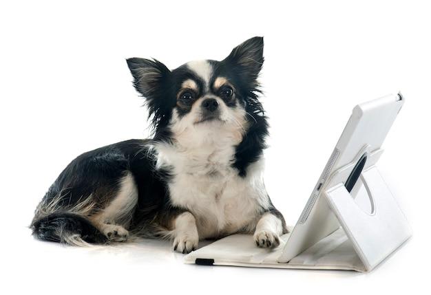 Chihuahua y computadora