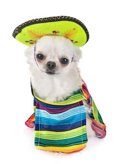 Chihuahua en el estudio