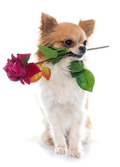 Chihuahua y flor