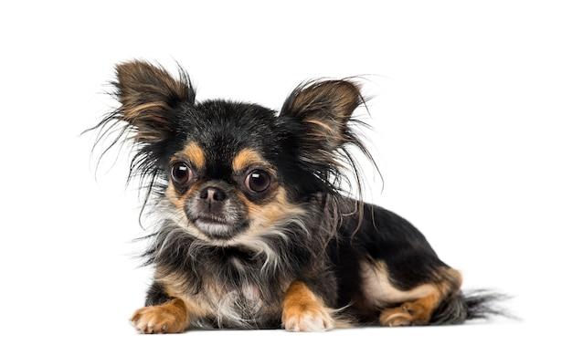 Chihuahua frente a una pared blanca