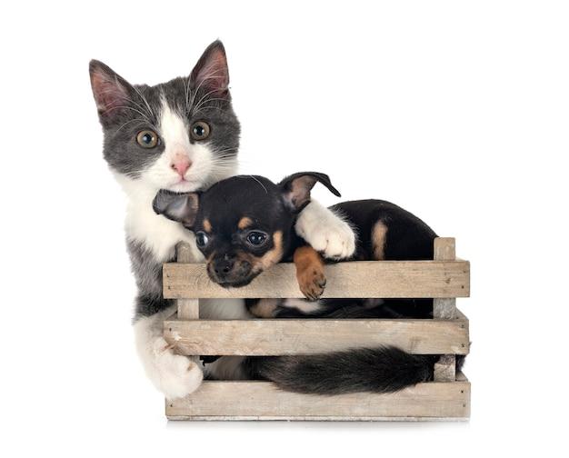 Chihuahua y gato salvaje aislado en blanco