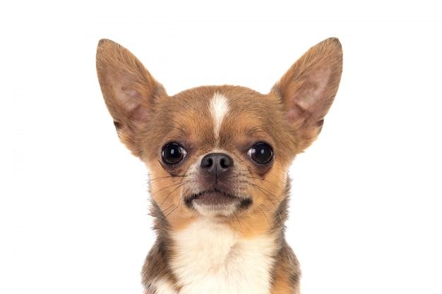 Chihuahua graciosa con orejas grandes