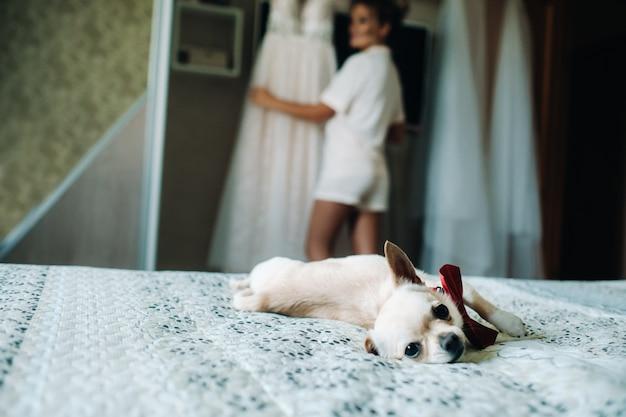 Chihuahua-hermoso perrito, marrón chihuahua con una mariposa acostada en la cama.