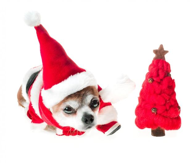 La chihuahua linda del perro en el traje de papá noel con el árbol de navidad rojo miente en blanco aislado.