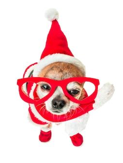 Chihuahua linda del perro en el traje de papá noel con los vidrios rojos en los ojos en blanco aislado.