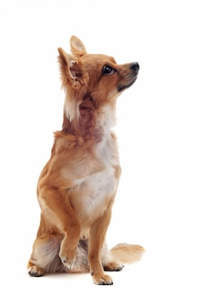 Chihuahua marrón