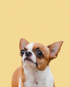 Chihuahua mirando a otro lado y fondo amarillo