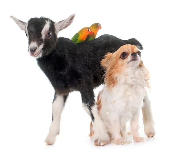Chihuahua, niño y cockatiel