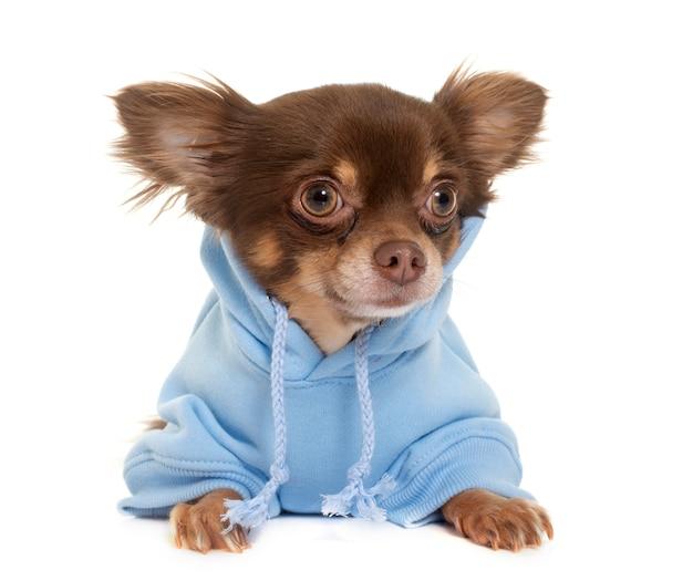 Chihuahua de pelo largo vestido