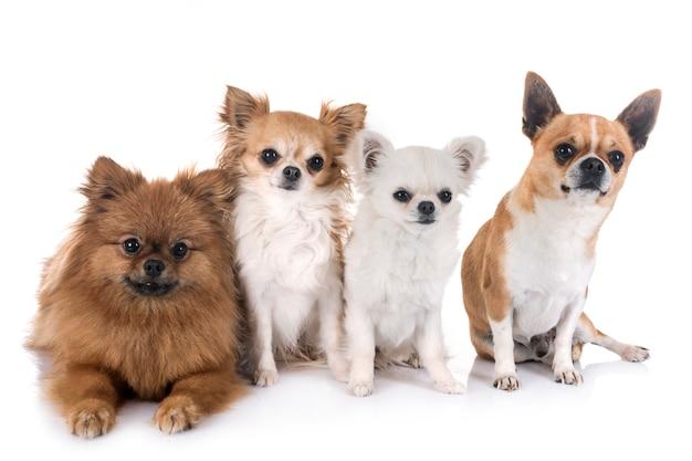 Chihuahua y pitz en estudio