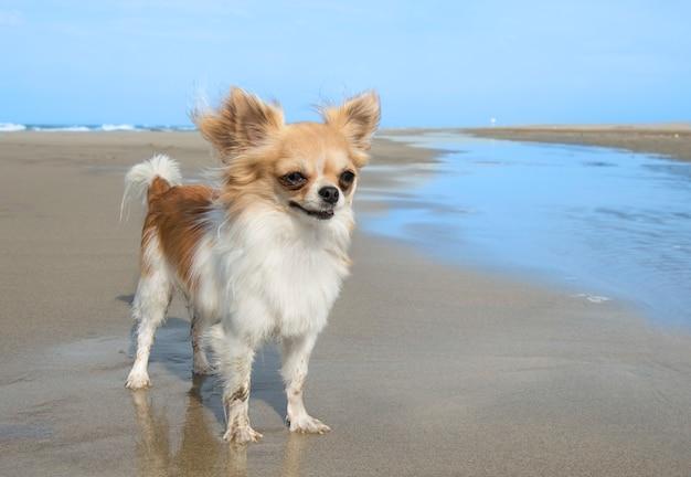 Chihuahua en la playa