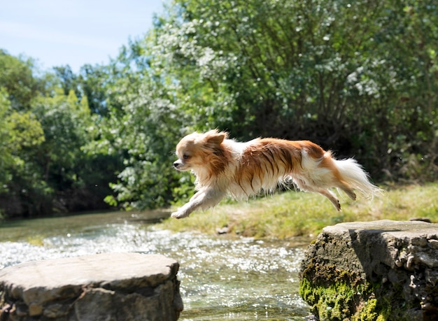 Chihuahua de pura raza saltando en la naturaleza en un día de verano